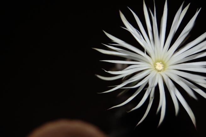 setiechinopsismirabilis1